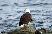 Bald Eagle (Haliaeetus leucocephalus), Oyster Bay, nr Cambell River, Vancouver Island, Canada   Photo: Peter Llewellyn