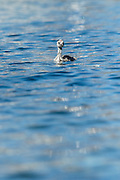 A baby Australasian Crested Grebe floats by its lonesome at Lake Wanaka, New Zealand