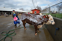 Cody Stansfield of Kennewick Washington, washes bulls during the Red Bluff Bull and Gelding Sale at the Tehama District Fairgrounds in Rd Bluff, CA, Friday, January 26, 2018.<br /> Photo Brian Baer