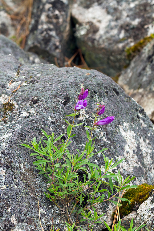 Shrubby Penstemon (Penstemon fruticosus) growing in the rocks on the shore of Okanagan Lake in Ellison Provincial Park, Vernon, British Columbia, Canada