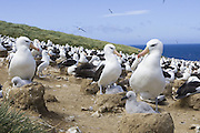 Black-browed Albatross<br /> Thalassarche melanophris<br /> Parent and 1-2 week old chick on nest in colony<br /> Steeple Jason, Falkland Islands