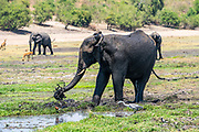 A herd of African Elephants drinking water in a watering hole. Photographed at Chobe National Park Botswana