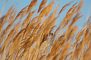 Common Reed, Phragmites australis, Saginaw Bay, Michigan