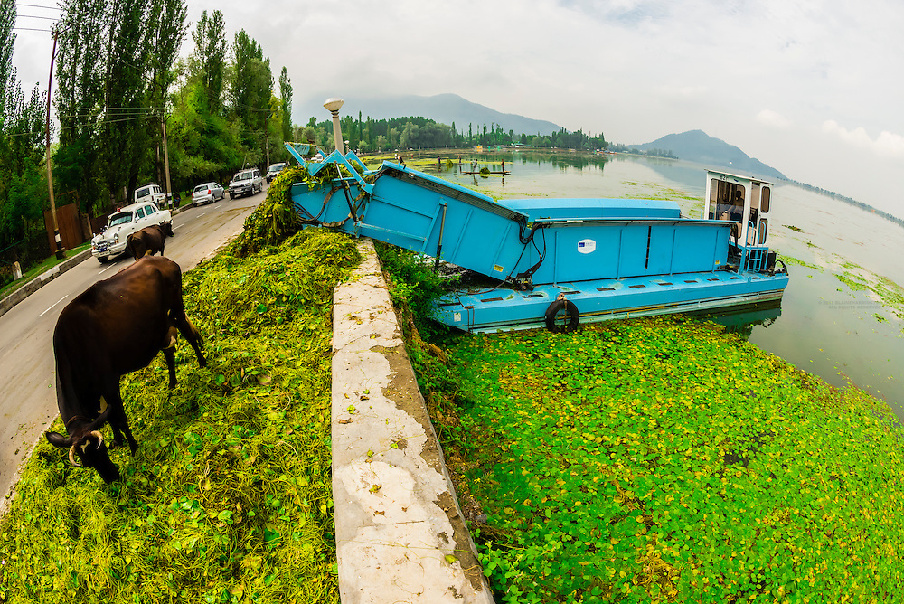Weeds dregged from Dal Lake being fed to cows on the shore, Srinagar, Kashmir, Jammu and Kashmir State, India.