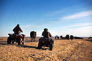 Costa Lapaseotes and workers from Greenwood Ranch move cattle down Highway 88 from Redington to a corral two miles to the east where they load them in trucks, in Morrill County Nebraska, December 28, 2010.