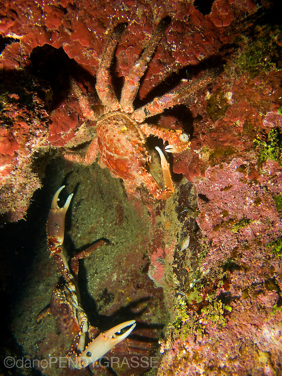 A pair of channel clinging crabs defend their turf on the reef around Roatan, Honduras.