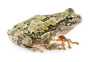 Cope's Gray Tree Frog (Hyla chrysoscelis)<br /> United States: Alabama: Tuscaloosa Co.<br /> Tulip Tree Springs off Echola Rd.; Elrod<br /> 27-Jun-2016<br /> J.C. Abbott #2839