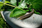 Lackey moth (Malacosoma neustria) | Autobahn A7 bei Elfershausen -Ringelspinner, Malacosoma neustria
