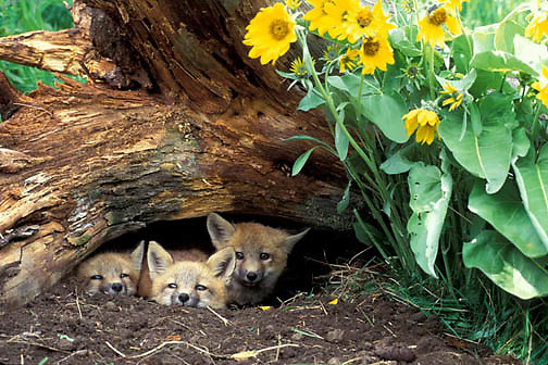 Red Fox, (Vulpus fulva) Kits at den entrance. Arrowleaf Balsamroot flowers.  Montana. Captive Animal.