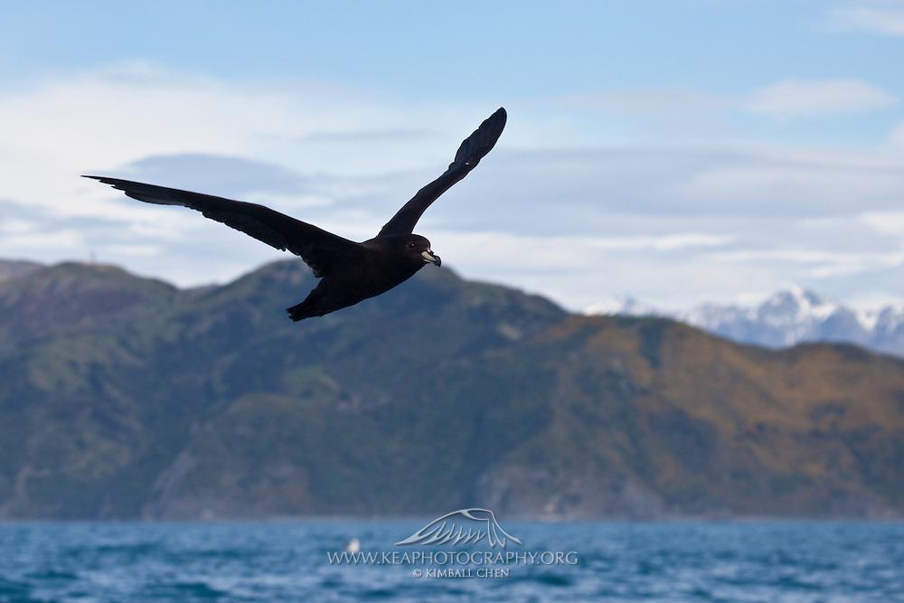 Westland Petrel, New Zealand
