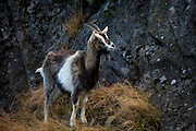 Feral Goat, Glenealo Valley, Glendalough, Co. Wicklow, near the ruined Miner's Village