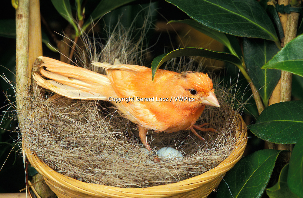 Red Canary, serinus canaria, Female with Eggs in Nest
