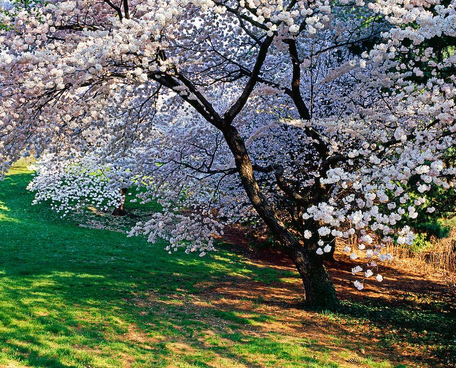 Cherry Blossoms New York Botanical Gardens Bronx New York City