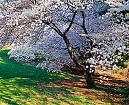 Cherry Blossoms, New York Botanical Gardens, Bronx, New York City, NY