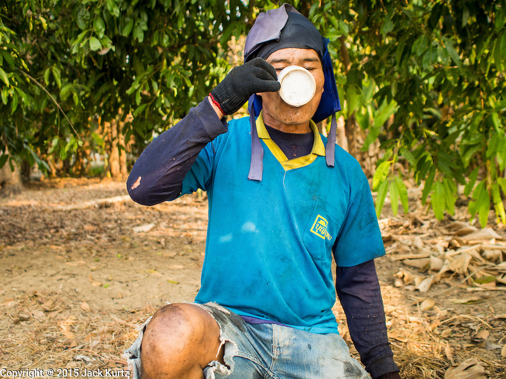 09 FEBRUARY 2015 - THA MAI, KANCHANABURI, THAILAND: A worker drinks a glass of water while harvesting sugarcane by hand in a field in Kanchanaburi, Thailand. First workers burn weeds and loose chaff out of the field before going through it with machetes and scythes to cut the stalks of sugarcane. Thailand is the world's second leading sugar exporter after Brazil. The 2015 sugarcane harvest in Thailand is expected to fall about 5% compared to the 2014 harvest because of a continuing drought in Southeast Asia. Brazilian production is also expected to fall this year because of ongoing drought in Brazil. Australia, the number 3 sugar exporter, is also expected to see a smaller harvest this year because of continuing draught in Australia.   PHOTO BY JACK KURTZ