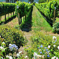 Rows of Vines at Casas del Bosque Vineyard in Casablanca, Chile <br />