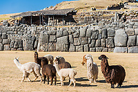 Alpacas at Sacsayhuaman, Incas ruins in the peruvian Andes at Cuzco Peru