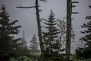 Many Yezo spruces on mountain passes above the Shiga Kogen Highlands in the Joshinetsu National Park are dying out due to rising winter temperatures.  Japan's alpine ecosystems, like alpine environments around the world, are under intense pressure already from climate change as temperatures in Japan rise.  Tree species are being pushed northward and up the slopes of mountain ranges as southern species move in, with warmer temperatures, to displace them.  Several Yezo spruces in the foreground are weak or dying.    Spruce diseases around the planet have been linked to increased winter temperatures and erratic weather conditions.  Beetle infestations are increasing because, in the past, sustained winter temperatures below -20c (-4 F) killed beetles' eggs.  Now, in the time of global warming, suggest infestations and related spruce diseases are taking a toll on spruce forests.<br /> <br /> Climate change will reduce the size of alpine zones in Japan, pushing alpine flora and fauna up the mountains.  In the Shiga Kogen Highlands, these species have run out of mountain to migrate up and will slowly die out if temperatures continue to climb.   Shiga Kogen Highlands, Nagano Prefecture, Japan.
