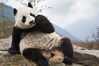 Giant panda, Ailuropoda melanoleuca, reclining on rock in the mountains, eating bamboo.
