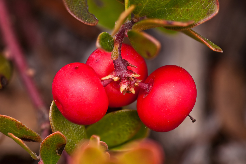Closeup of Bearberry fruit near Sheep Mountain in the Talkeetna Mountain range of Southcentral Alaska. Fall. Afternoon.