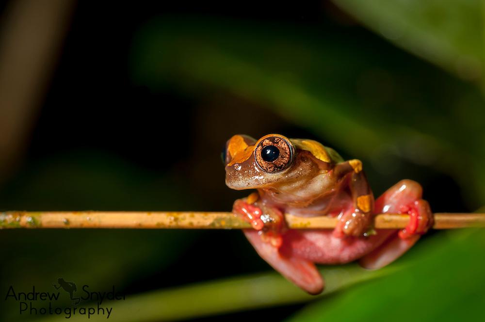 A clown tree frog (Dendropsophus leucophyllatus) perches over a swamp.
