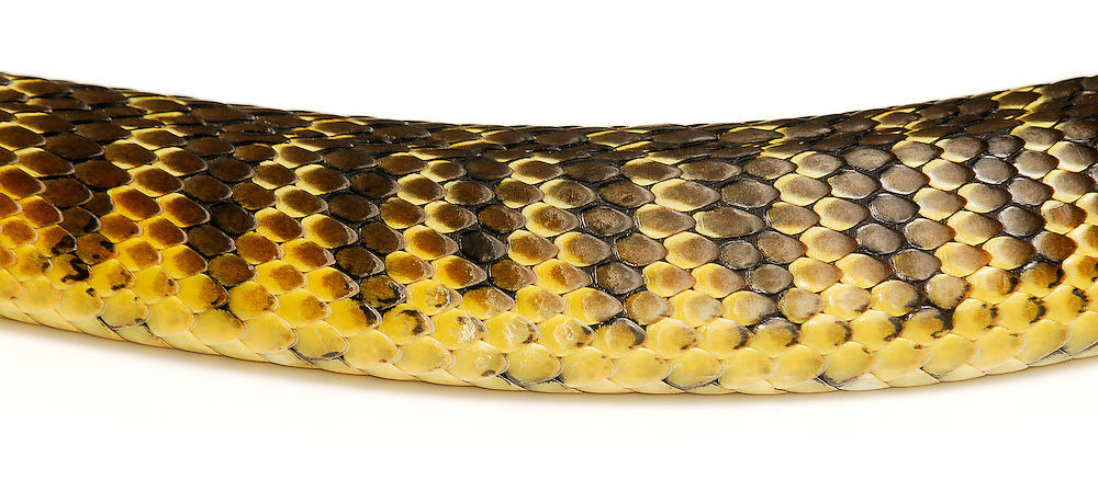 Eastern or Common Tiger Snake (Notechis scutatus scutatus) scales, native to mainland Australia. They rank amongst the deadliest snakes in the world. Female.