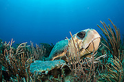 A Loggerhead Sea Turtle, Caretta caretta, rests on a coral reef offshore Palm Beach, Florida, United States.
