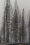 Trees that have been burned in the Rim Fire line Highway 120 near Yosemite National Park on August 24, 2013.