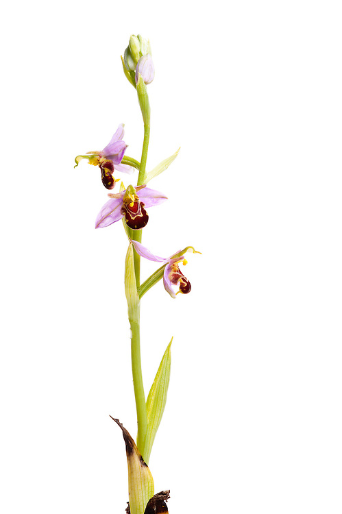 Bee orchid in flower, Ophyris apifera, Suffolk, England, Europe.