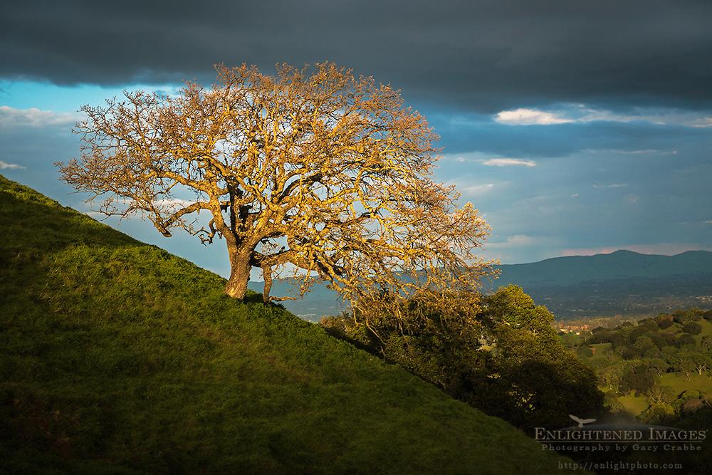 Sunlight on an oak tress after a storm, Briones Regional Park, Contra Costa County, California