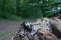 Caterpillar hunter beetle (Calosoma sycophanta) in Codrii forest Reserve, central Moldova