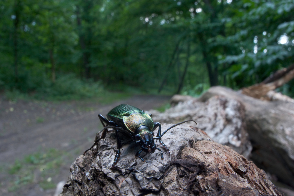 Caterpillar hunter beetle (Calosoma sycophanta) in Codrii forest Reserve, central Moldova