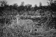 Cheetah (Acinonyx jubatus) in the Manyeleti Conservancy, part of the Greater Kruger National Park.