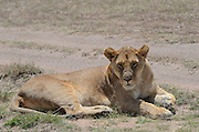 Kenya, Masai Mara, Lioness rests in the shade