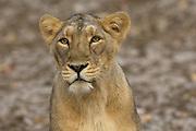 Sasan Gir - Sunday, Jan 07 2007:  Female Asiatic Lion at Gir National Park. (Photo by Peter Horrell / http://www.peterhorrell.com)