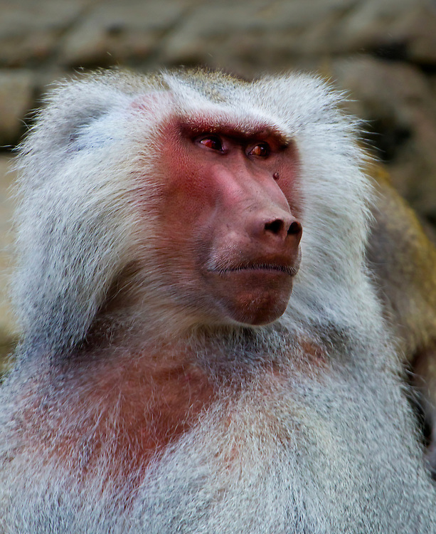 A male baboon, someone who you definitely want to be on the right side of.