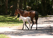 A Cumberland Island wild mare with a white foal crossing a dirt road.