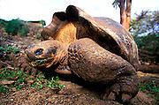 ECUADOR, GALAPAGOS Darwin Research Station; giant tortoise