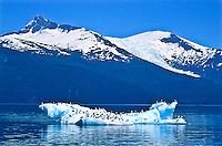 Gulls on a iceberg in Holkham Bay below Mount Sundum  and Sumdun Glacier. Southeast Alsaka.