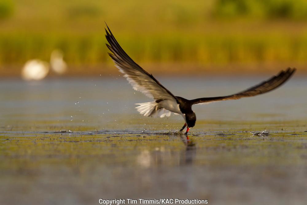 Black Skimmer, Rynchops niger, Bryan Beach, Texas gulf coast, skimming with beak in water, lowered head