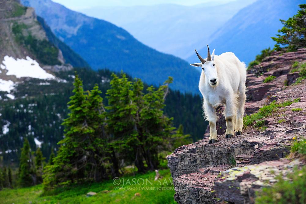 Mountain Goat, Glacier National Park. Canon 5D markIII Canon 70-200 2.8L IS II