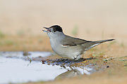 Eurasian Blackcap (Sylvia atricapilla) male near the water, negev desert, israel