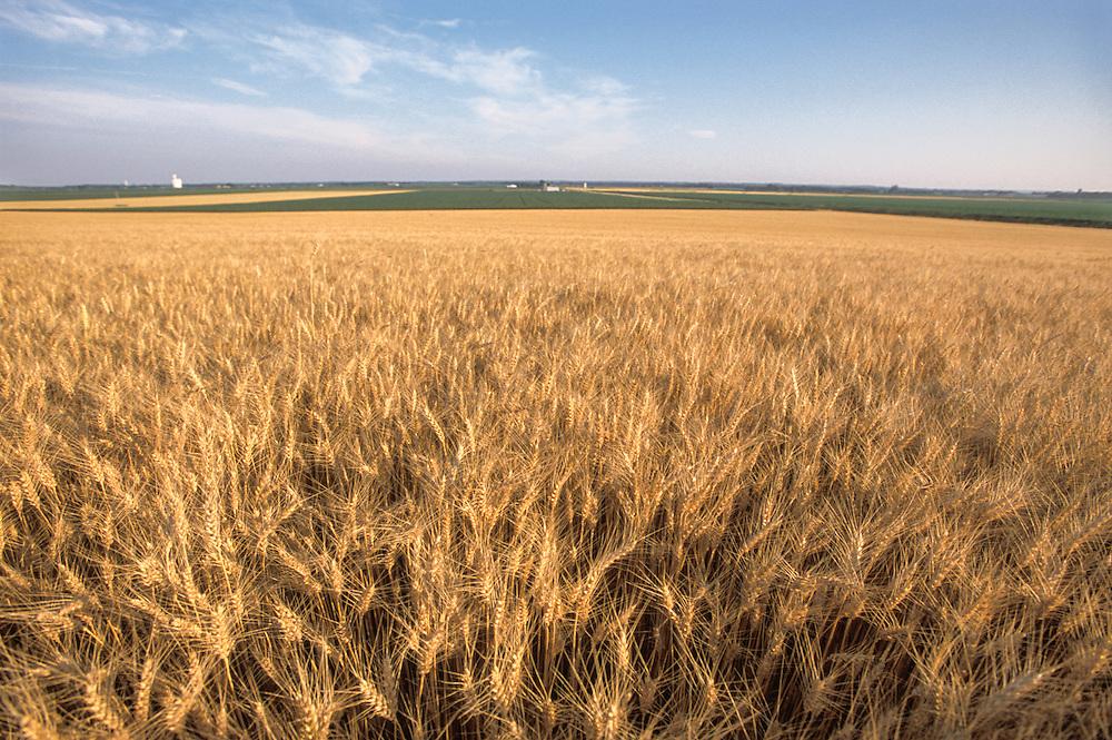 Kansas, USA - Wheat