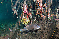 Giant Sweetlips getting cleaned by wrasses in mangrove roots..Shot in West Papua Province, Indonesia
