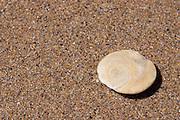 A shell on a beach that has been worn flat, but still showing its golden spiral.