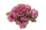 Fresh organic pink flowering kale on white background