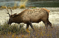 Elk (Cervus elaphus) - also known as Wapati - Banff National Park, Alberta, Canada   Photo: Peter Llewellyn