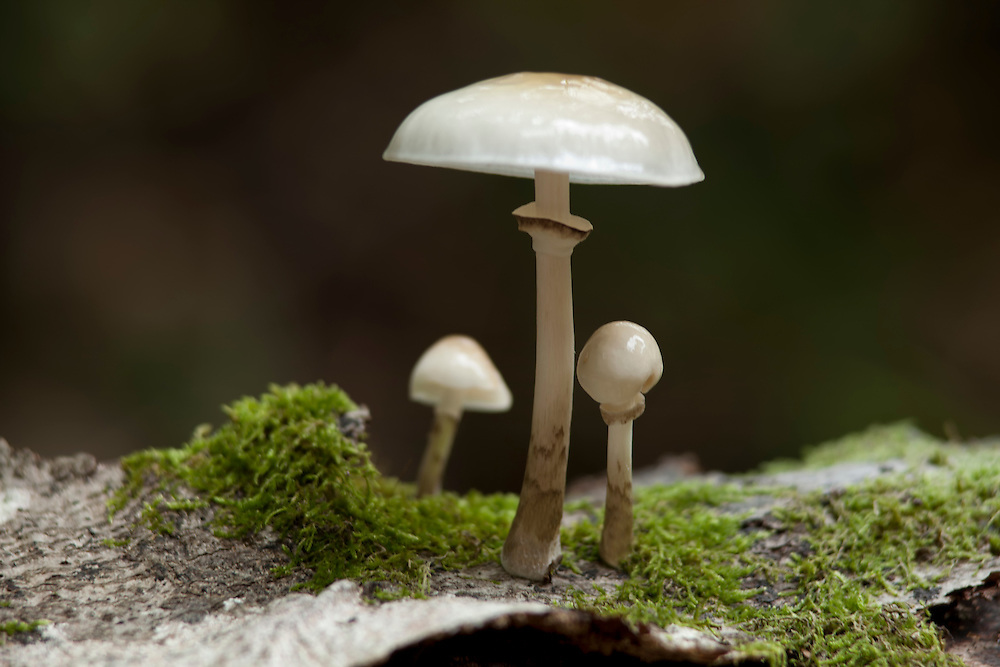 Porcelain Fungus on bark, France