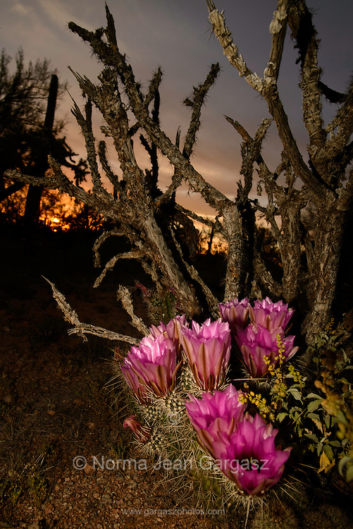 Hedgehog Cactus blossoms, which last for about five days, close at sunset in the Sonoran Desert, Ironwood Forest National Monument, Avra Valley, Arizona, USA.