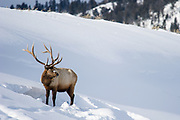 Bull Elk (Cervus canadensis) foraging in deep snow during winter in Yellowstone
